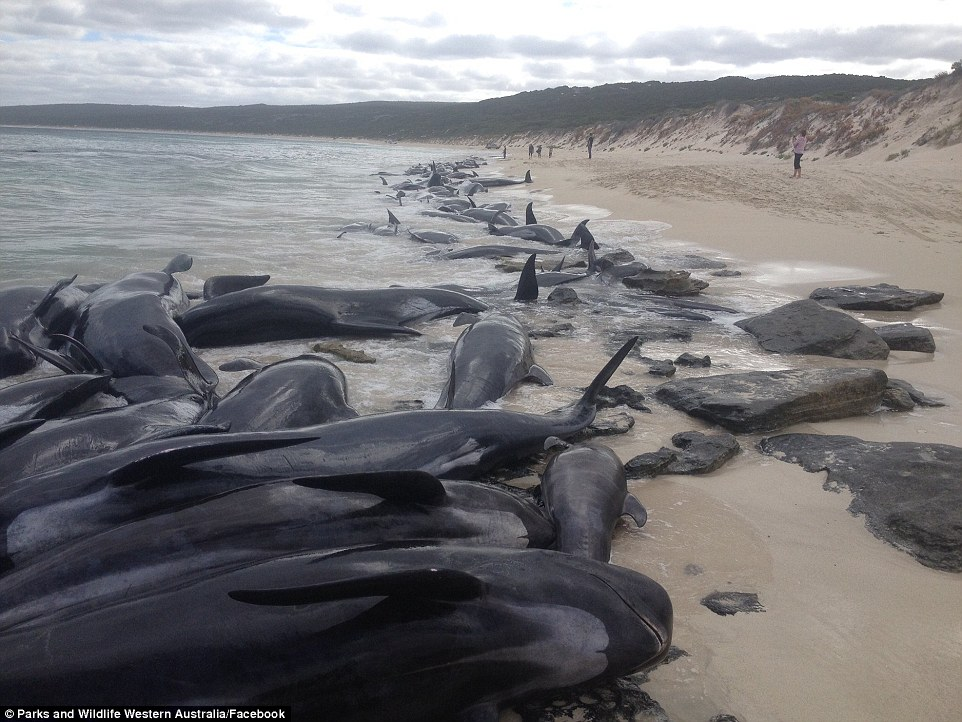 4A7632D000000578-5534661-The_whales_were_spotted_by_distressed_locals_who_captured_images-a-10_1521782844794
