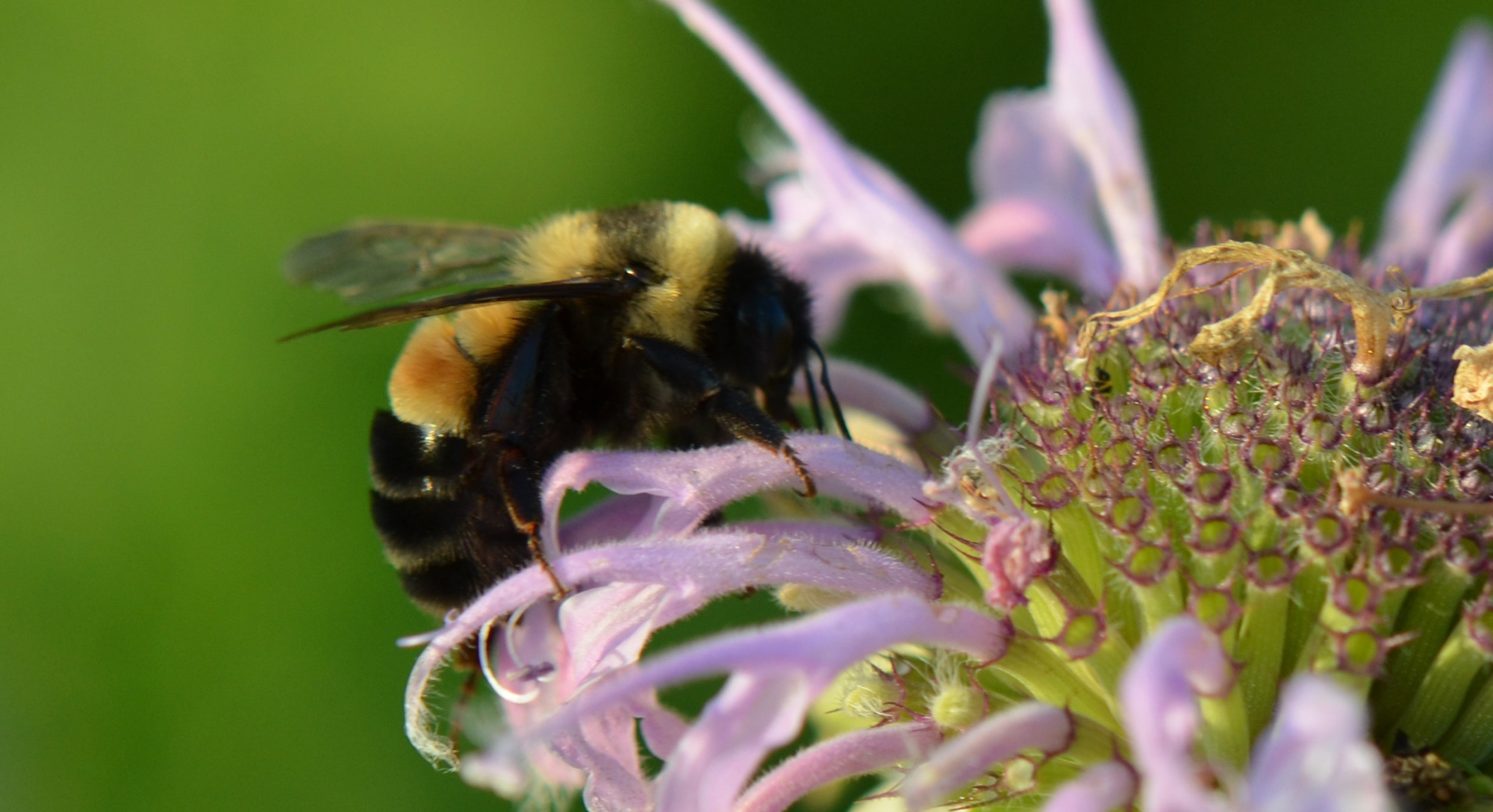 Rusty_Patched_Bumble_Bee_28971822177.jpg