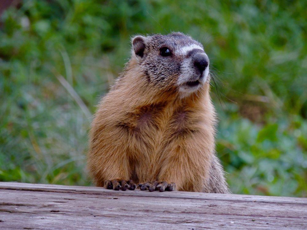 marmot-5249335_1920-1000x750.jpg