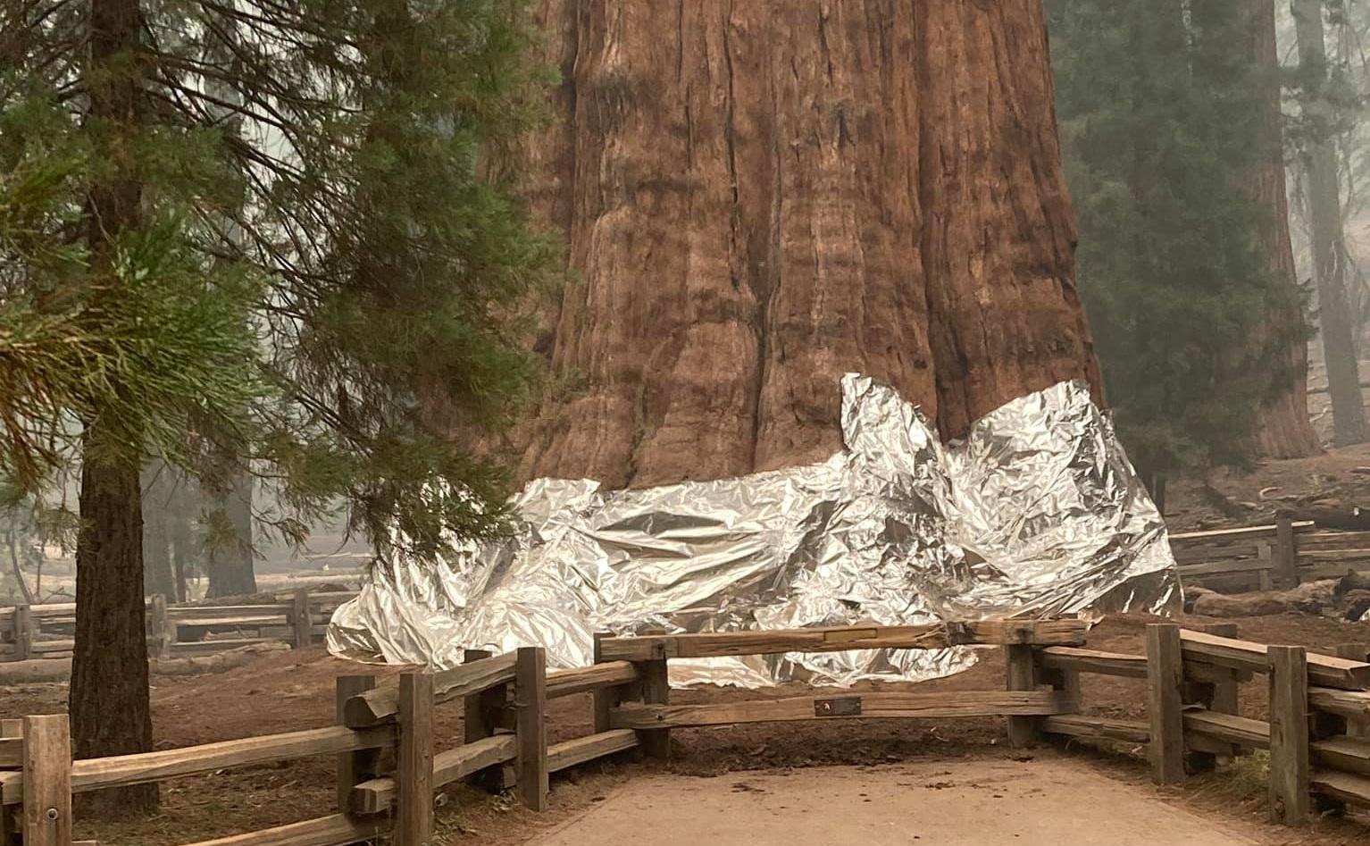 Tűzálló alumínium takaróval védik az erdőtűztől a világ legnagyobb fáját